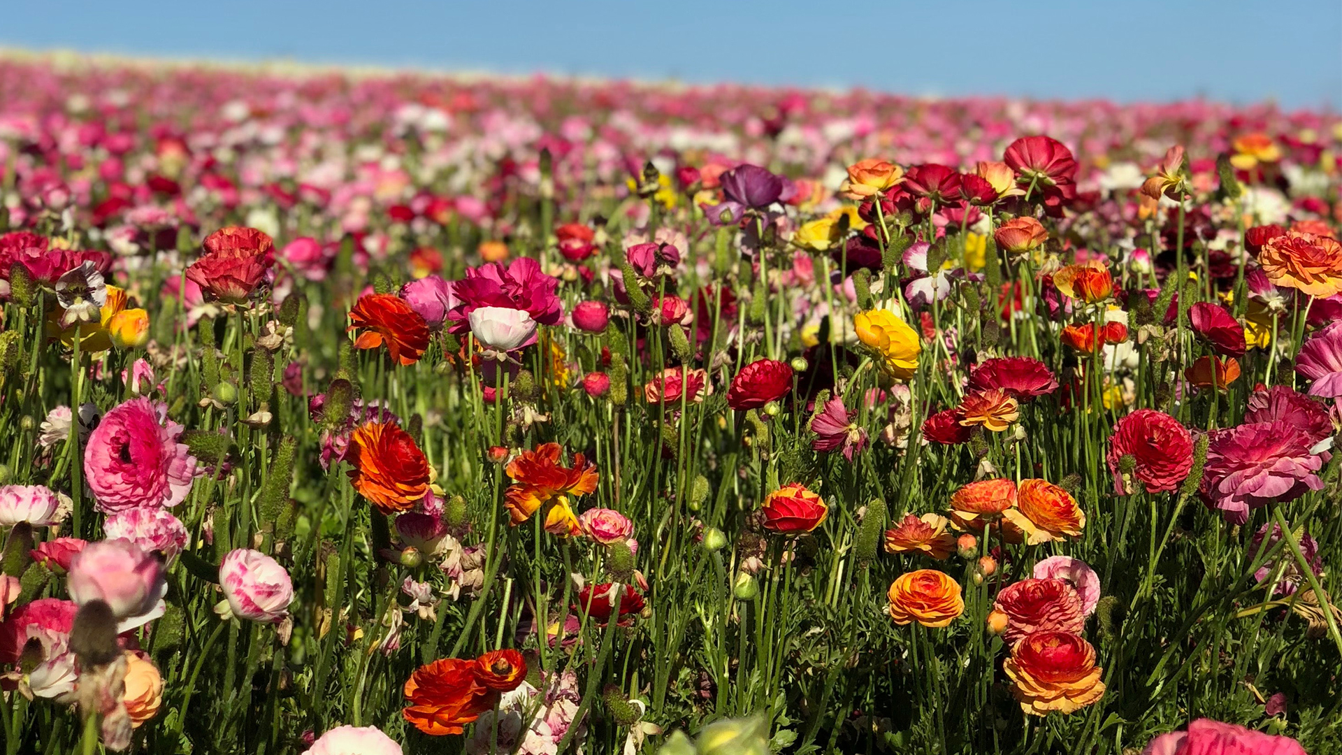 The Persian buttercups of Flower Fields